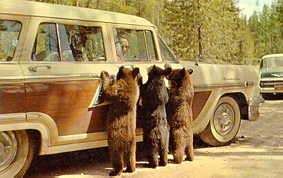Welcome committee in Yellowstone.