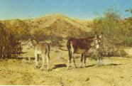 burros in Death Valley.